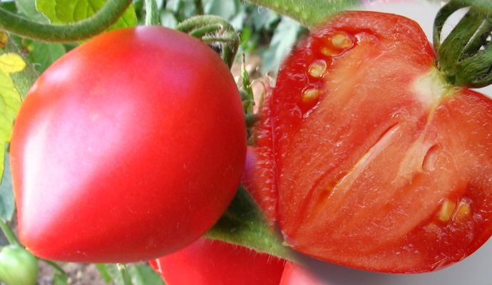 Tomate Anna russian